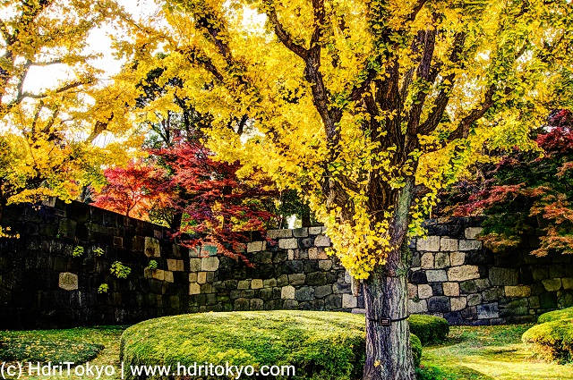 yellow leaves of ginkgo and red leaves of Japanese maple. a stone wall lie by the trees.