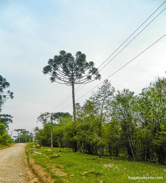 Araucária, árvore símbolo do Paraná