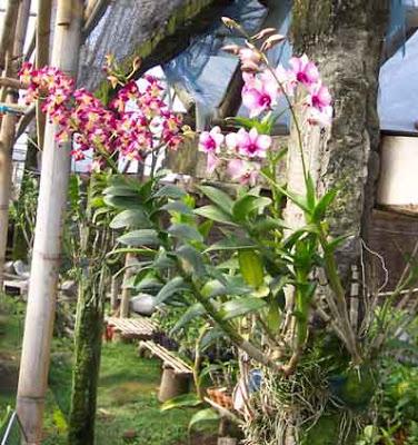 Cara  Menanam Bunga  Anggrek  Hias
