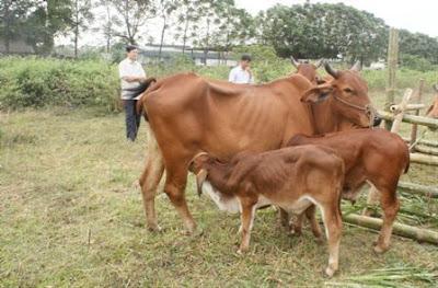 Cách tách bê con ra khỏi bò mẹ