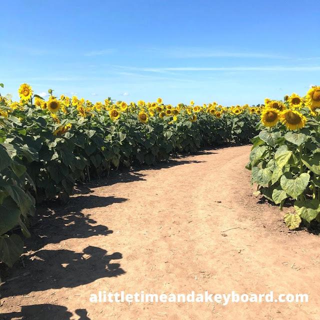 A dirt path welcomes us through the sea of gold at Von Bergen's Sun Flower Maze.