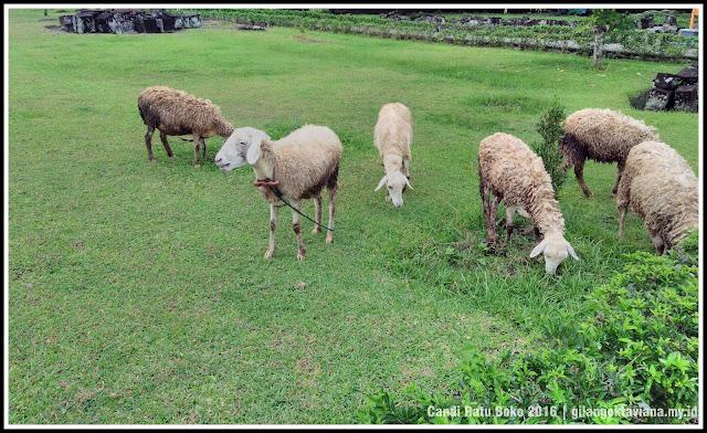 kambing-di-ratu-boko