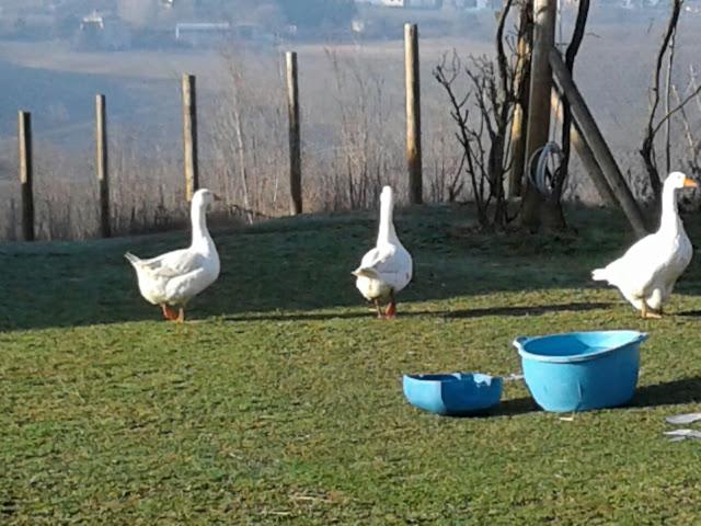 volunteering ducks