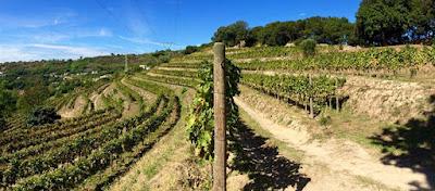 campi flegrei vino