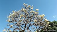 White plumeria tree - Diamond Head Community Garden, Waikiki, HI
