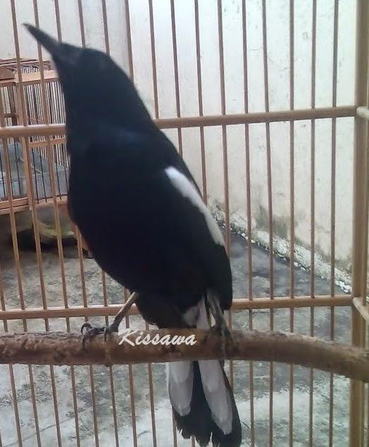 burung lovebird lepas burung labet