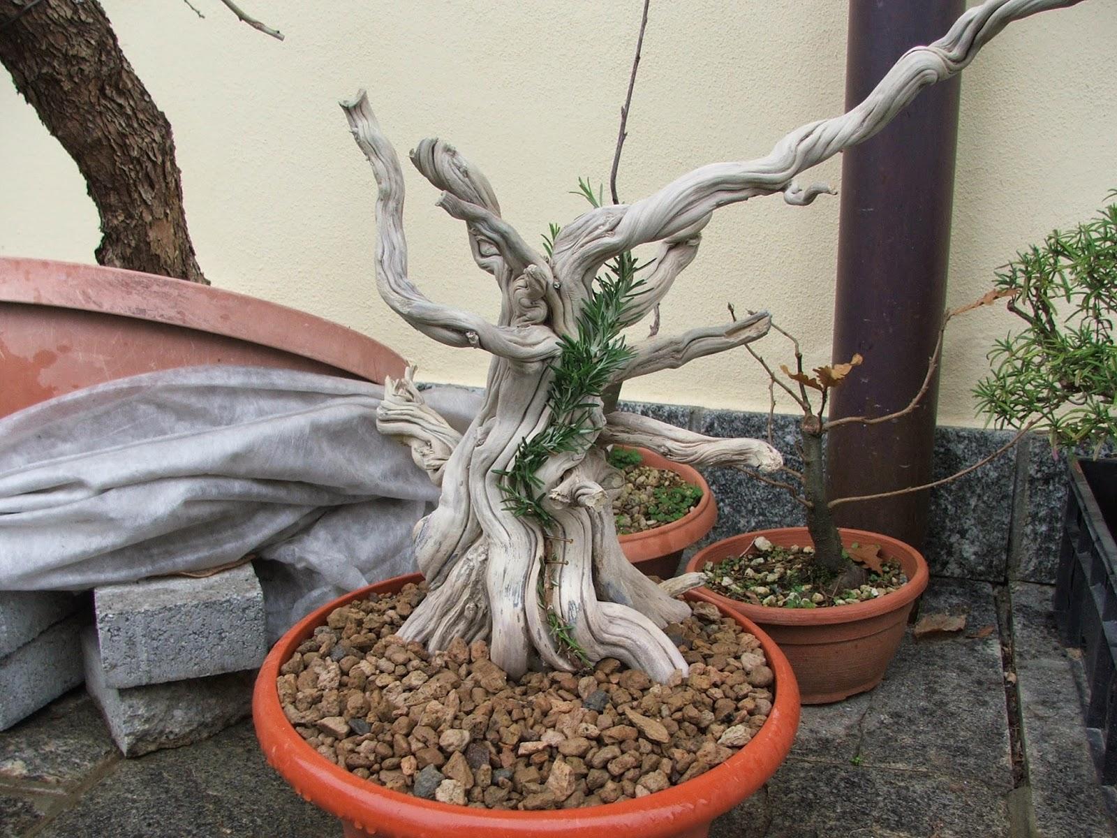 Rosmarino Secco Alla Base evoluzione bonsai : tanuki di rosmarino - tanuki of rosemary