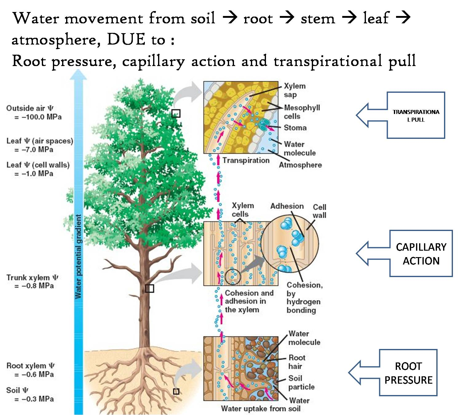 flower transpiration diagram lennox heat pump wiring water cycle with free engine