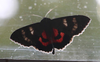 A beautiful moth that flew inside