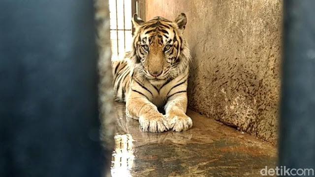 Harimau Diviralkan Kurus Tak Terurus Berujung Sesal dan Maaf