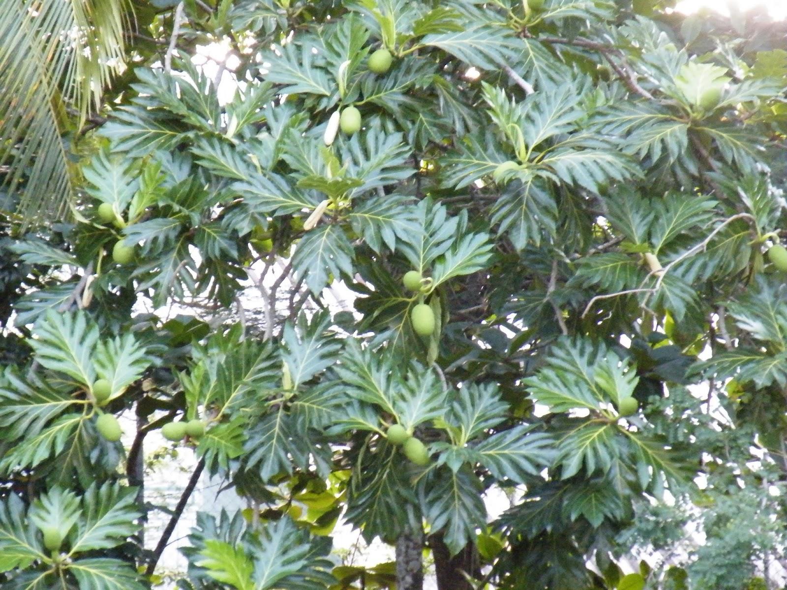 Du four au jardin et mes dix doigts l 39 arbre pain for Plante 5 doigts bahamas