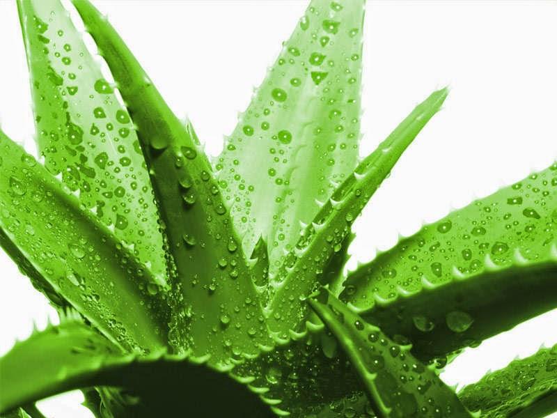 Lidah buaya merupakan flora hias yang banyak keuntungannya Cara Menanam Lidah Buaya Dengan Praktis
