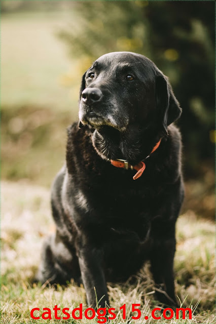 Are Newfoundland appropriate pets? Crucial data about Newfoundland canine breed