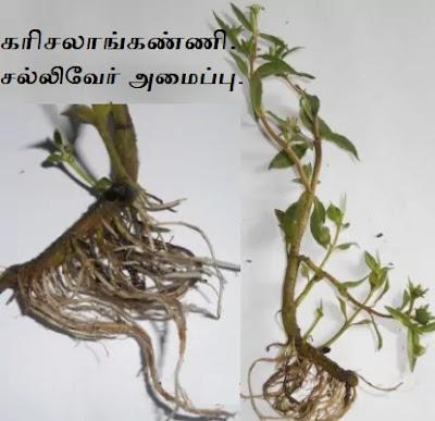 Karisalankanni root