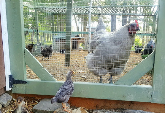 4 Steps for Introducing New Chickens to your Backyard Flock