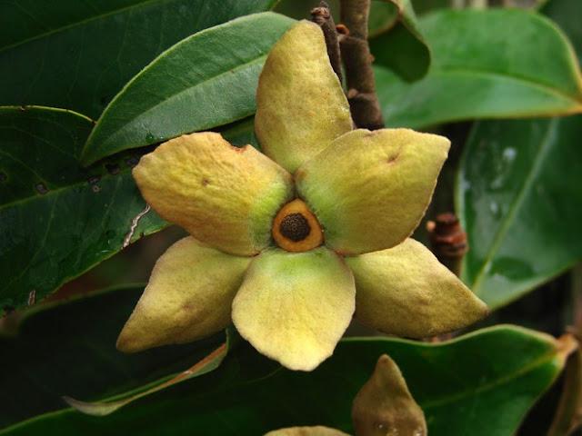Fiore aperto graviola