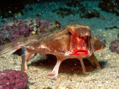 Peixe-morcego