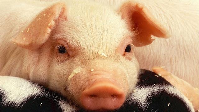FAO: Hay riesgo de que un nuevo brote de peste porcina en China se extienda por toda Asia