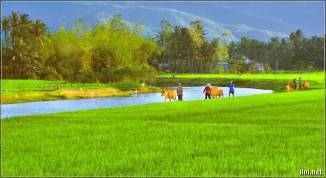 cảnh đồng lúa làng quê