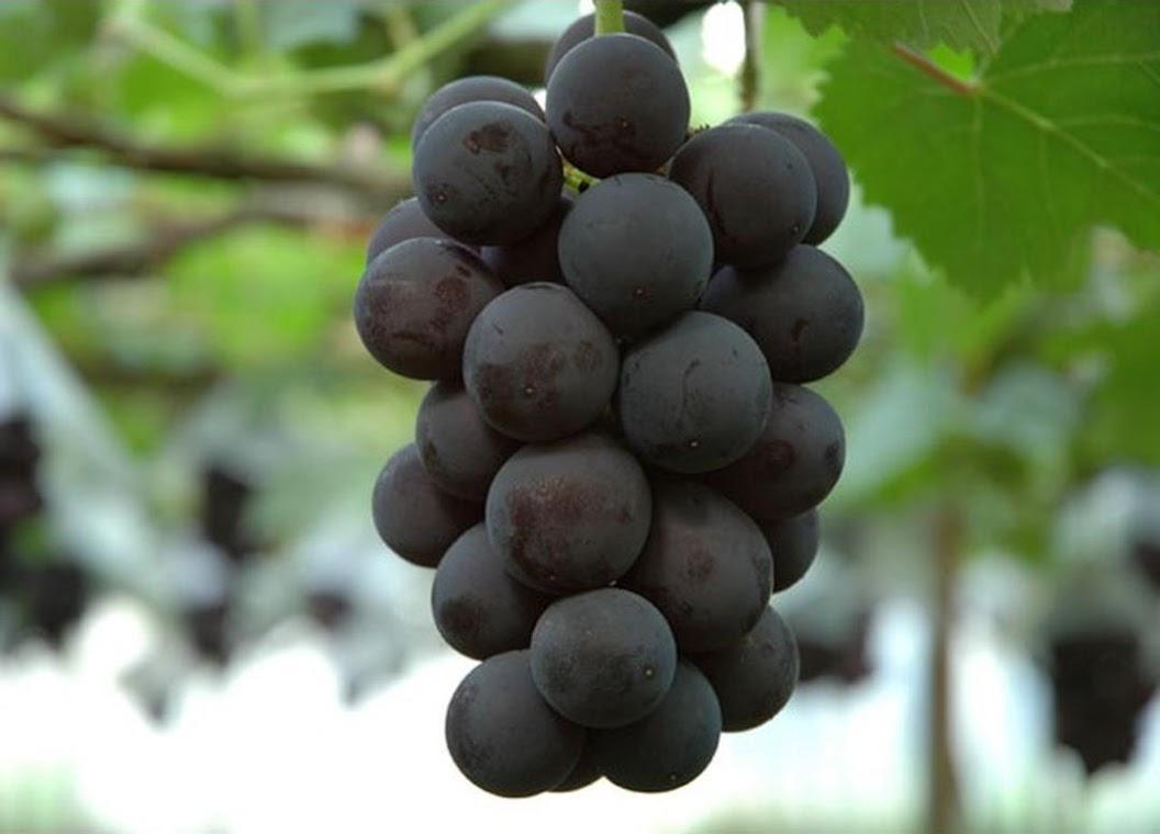bibit anggur import kyoho Kalimantan Selatan