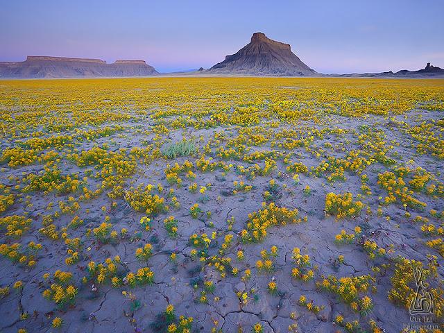 un mar de flores amarillas en el desierto de Utah
