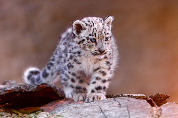 Baby Animals: Baby snow leopard