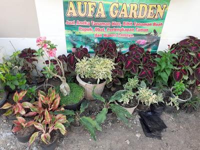 tanamn Hias, bibit tanaman, jual tanaman murah, tanaman kalimantan