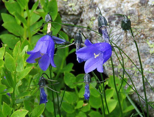 Dzwonek wąskolistny (Campanula tatrae).