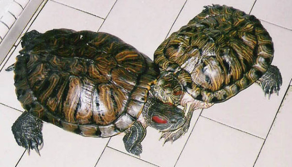 In memories of my terrapins