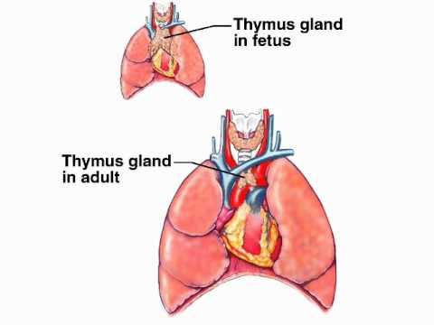 HUMAN ANATOMY: Thymus gland