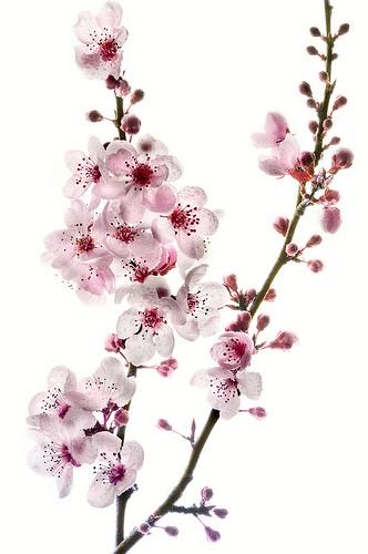 cherry blossom branch - photo #7