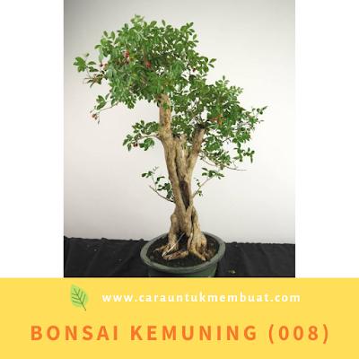 Bonsai Kemuning (008)