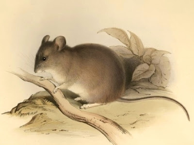 A mouse living at an extremely high altitude has scientists baffled.