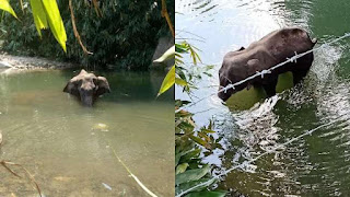 Elephant That Ate Cracker-Stuffed Pineapple Walked For Days In Pain
