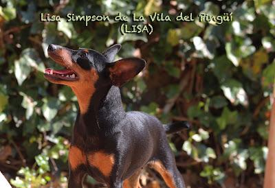 http://www.pinscherkennel.com/p/lisa-simpson-de-la-vila-del-pingue.html