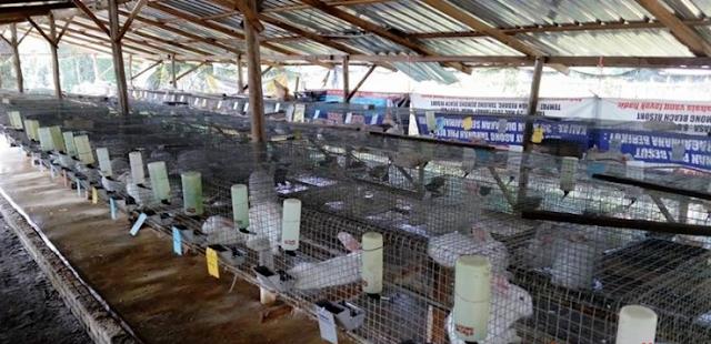 Cara Beternak Kelinci Lokal Potong Rumahan