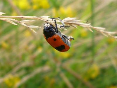 Kumbang yang Jatuh Tanpa Disadari
