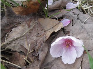 枯れ葉の上に落下した桜の花