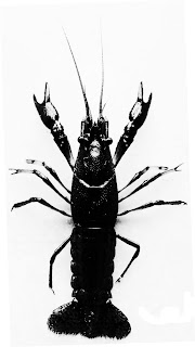 Marbled crayfish in black and white