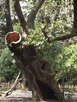 'Reborn' dead tree - Ueno Park, Tokyo, Japan