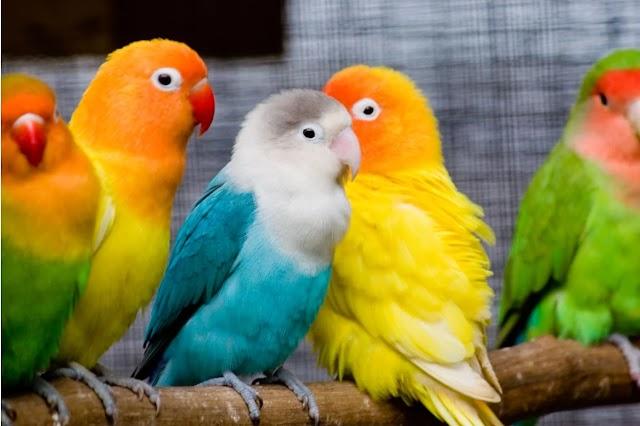 African Lovebirds | ആഫ്രിക്കൻ ലൗവ് ബേർഡ്സ്