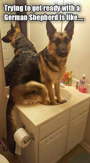 Dog Humor : Getting ready with a German Shepherd
