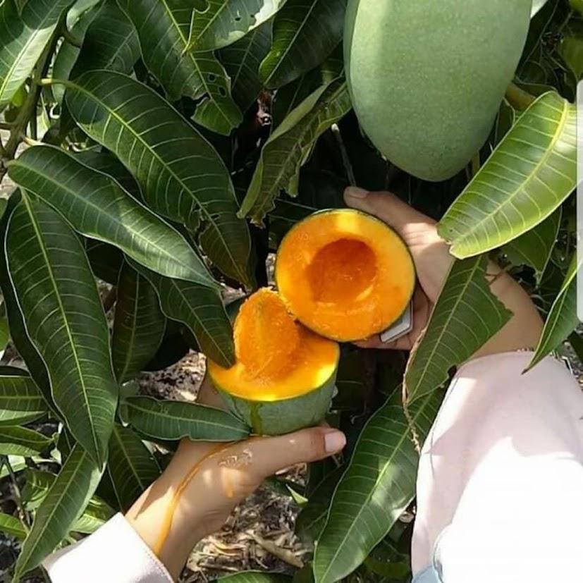 Bibit buah mangga alpukat cepat berbuah Medan