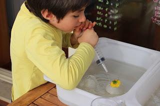 Criança a descongelar as flores, deitando água para cima do ovo de gelo, com uma seringa grande