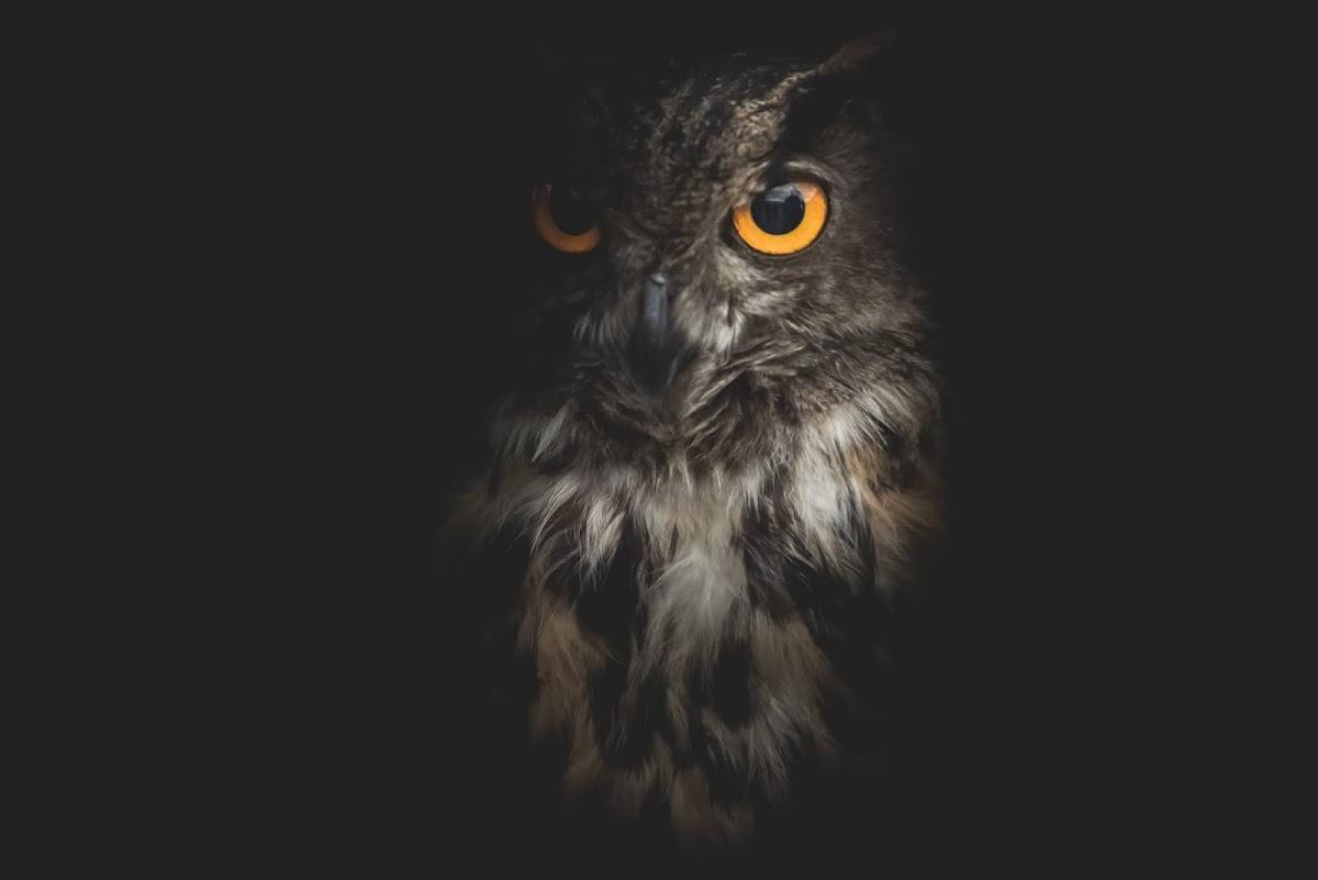 Download Wallpaper Gambar Burung Hantu