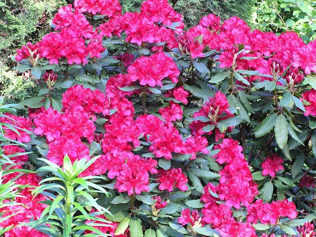 rododendron Nowa Zembla