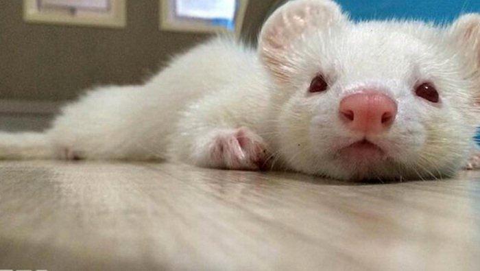 10 hewan peliharaan untuk anak-anak, Tikus, macam jenis tikus, tikus jepang, jenis tikus hias, tikus golden, tikus hias jepang, cara memelihara tikus rumah, jenis tikus besar, memelihara tikus got, funny pet