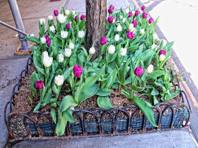 "©PatriciaYoungquist2009.This photo features many tulips in  two different colored tulips (purple and white). They are thriving in a sturdy, masterfully crafted tree pit. I've published a number of posts re this flower type on this blog. They can be read @  https://bit.ly/3djkG2Q  I've also included an array of unusual tulip types in volume one of my book series, ""Word In Our Beak."" Info re these books can be found within a post on my blog @ https://bit.ly/3tU6ymA  Moreover, I've also published posts which discuss tree pits and they can be read @ https://bit.ly/3nniZoH"
