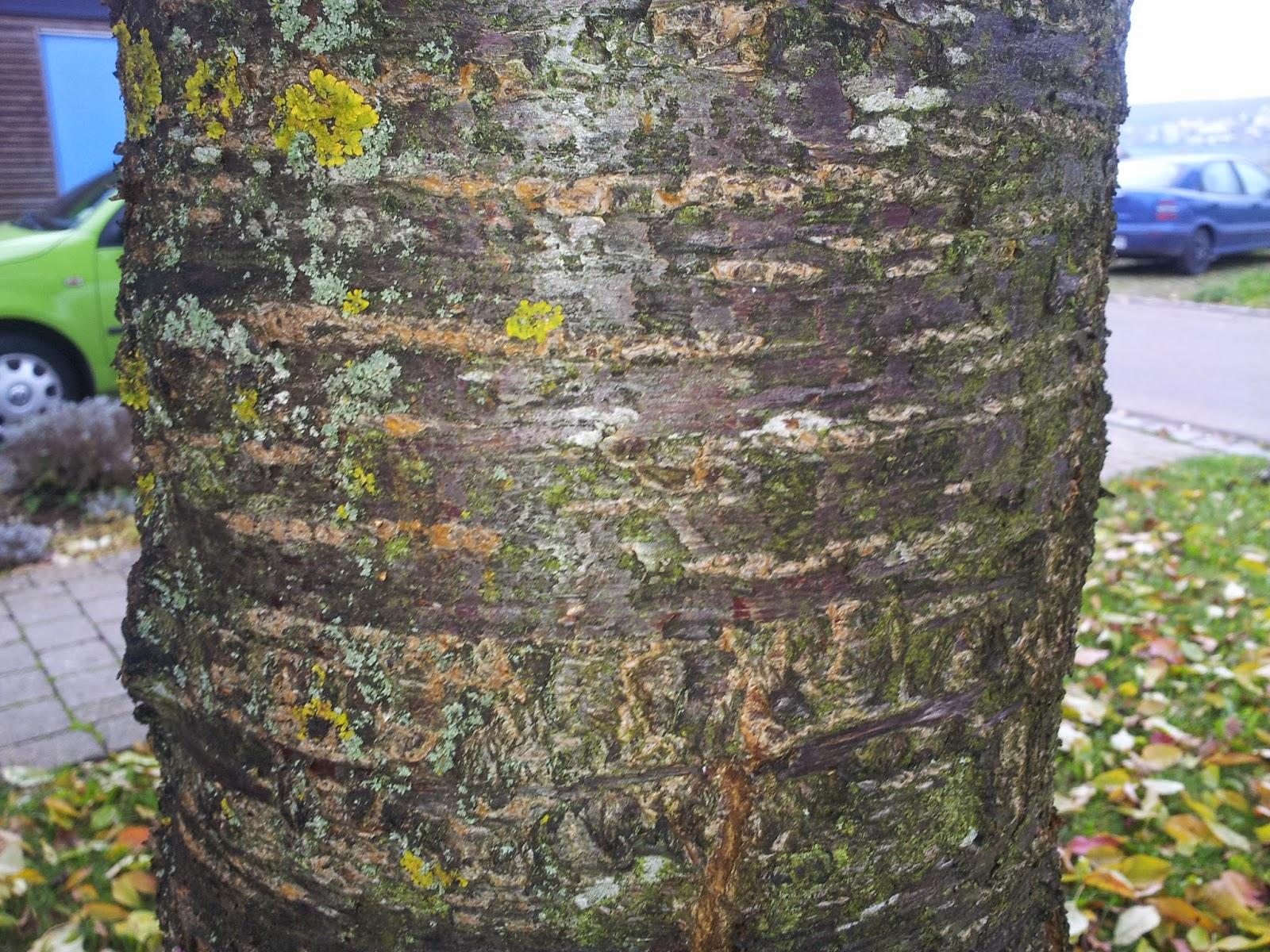 Baumtagebuch: Kirschbaum
