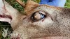 Why did the dazed Tennessee deer have fur emerging from their eyeballs?